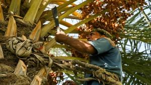 Das Dilemma der Palmenkletterer