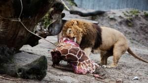 Zoo tötet vier Löwen