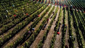Ernte auf Hessens nördlichstem Weinberg beginnt