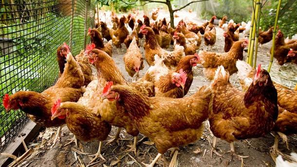 Wie der Garten zum Hühnerstall wird