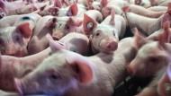 Streitfall: Schweinemäster sehen Betriebe durch neue Regeln gefährdet.