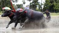 Traditionelles Wasserbüffel-Rennen