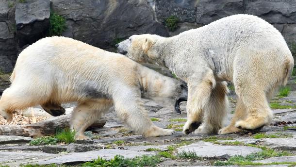Eisbärenbaby in Berlin geboren