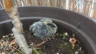 Nach einer Woche: Noch bedeckt die junge Taube noch kein Federkleid.