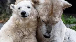 Eisbärenmädchen Hertha wiegt jetzt 85 Kilogramm