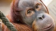 Die Augen sind der Seele klare Fenster, heißt es bei Heinrich Heine. Hier sind es die von Lucu. Er wird im Februar elf Jahre alt. Sein Vater war noch ein Wildfang aus dem indonesischen Dschungel und starb im Oktober 2014 im (für Orang-Utans) biblischen Alter von 57 Jahren.