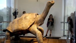 Schildkröte Lonesome George zurück in seiner Heimat