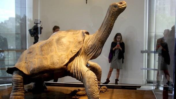 """Schildkröte """"Lonesome George"""" zurück in seiner Heimat"""