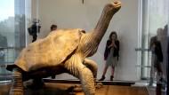 """Zuletzt war der einbalsamierte """"Lonesome George"""" im Naturkundemuseum in New York zu sehen."""