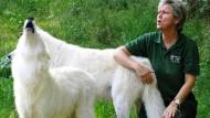Es war einmal: 2009 heulte Marion Ebel noch mit den Wölfen in der Fasanerie in Klein-Auheim.