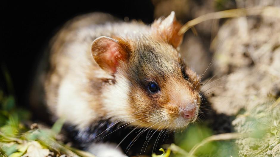Vom Aussterben bedroht: Der Feldhamster steht seit dem vergangenen Jahr auf der Roten Liste der gefährdeten Tier- und Pflanzenarten.