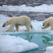 Eisbären laufen über arktisches Meereis: Ihr Habitat schrumpft.