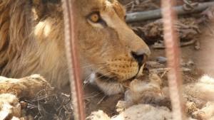 Tierarzt versorgt ausgehungerte Bären und Löwen