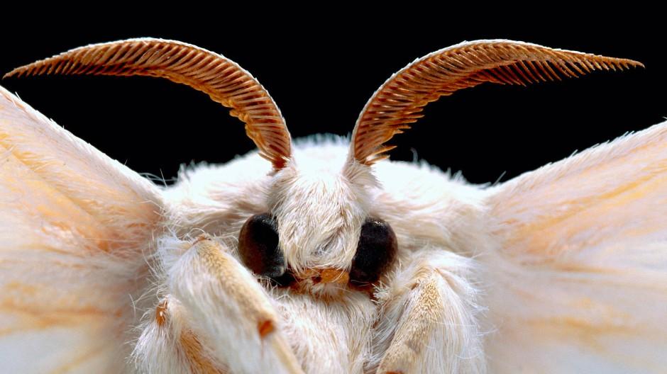 Als Rohstofflieferant domestiziert: ein Seidenspinner (Bombyx mori), der es über das Larvenstadium hinaus geschafft hat