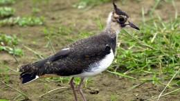 Fast drei Milliarden Vögel weniger