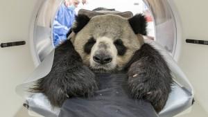 Panda in der Röhre