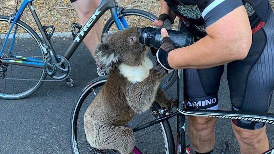 Fahrradfahrer retten Koala vor dem Verdursten