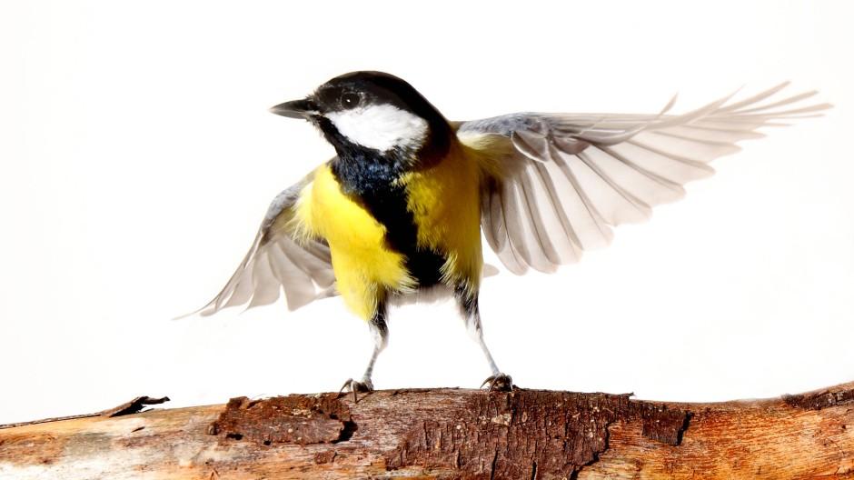 Flatterhaft ist nicht nur die Meise. Das macht die Vogelbeobachtung so vertrackt.