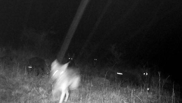Gnadenfrist für junge Mischlingswölfe