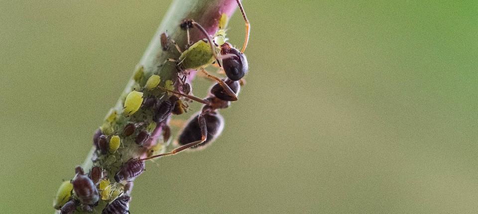 Wenn Blattläuse bald offensiv als Biowaffen eingesetzt werden, helfen vielleicht nur noch Ameisen.