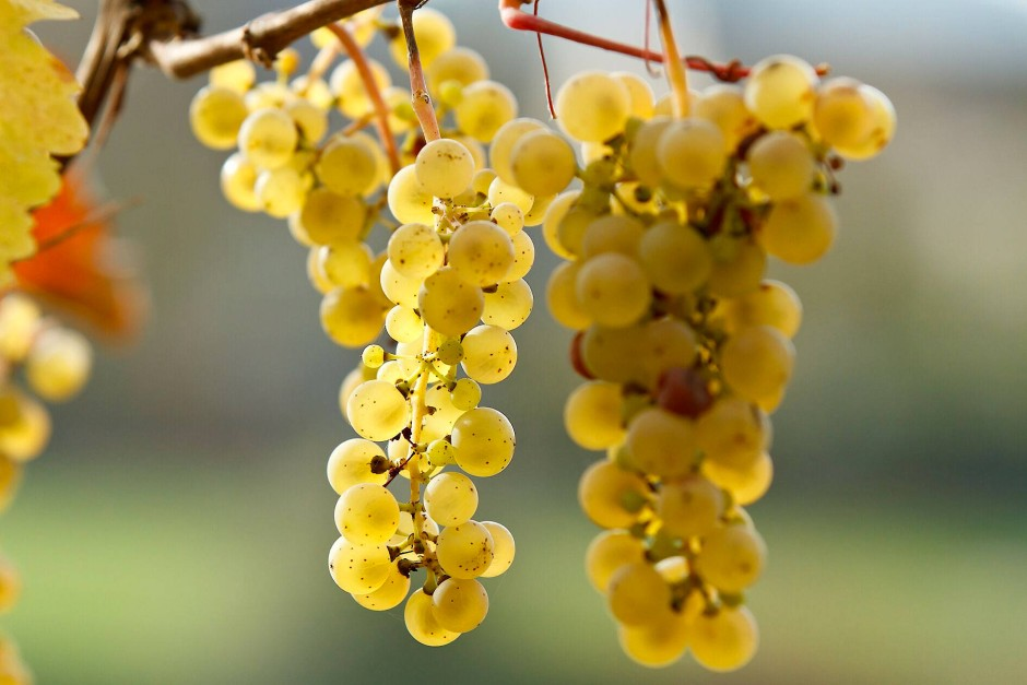 Wenn Wein der zweifelsfreie Beweis für die göttliche Menschenliebe ist, dann ist Riesling sein zuverlässigster Kronzeuge.