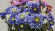 Chrysanthemen gibt es endlich auch in einer blauen Version.