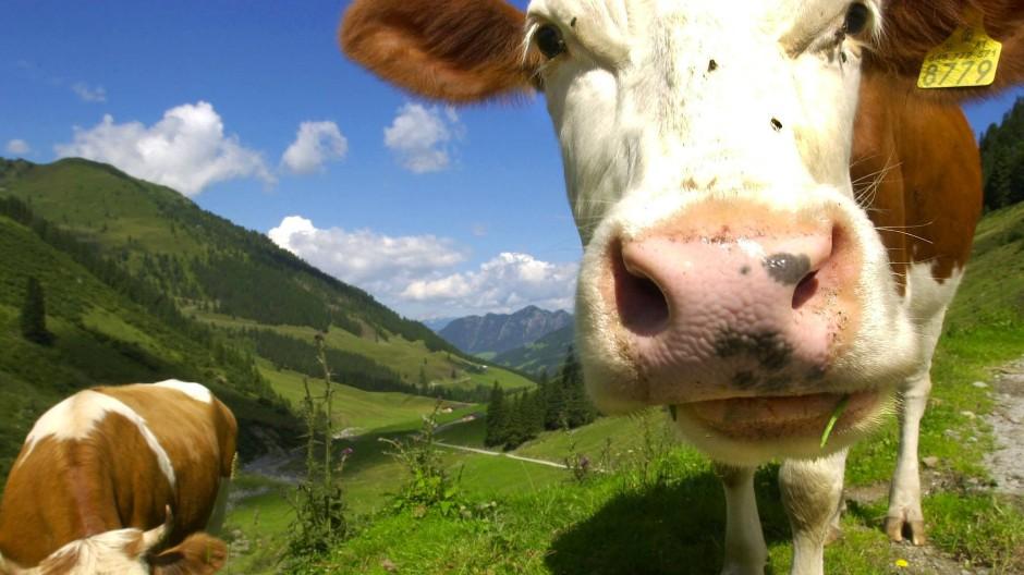 Sollen vor rücksichtslosen Touristen geschützt werden: Kühe auf einer Alm in Tirol.