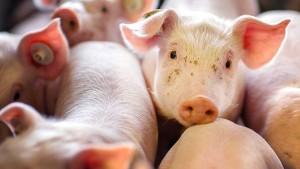 Was tun bei Ausbruch der Schweinepest?