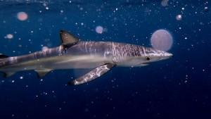 Haie leben im Mittelmeer gefährlich