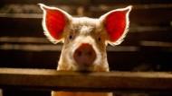 Dem Versuch der japanischen Forscher nach können Schweine im Notfall rektal Sauerstoff aufnehmen.