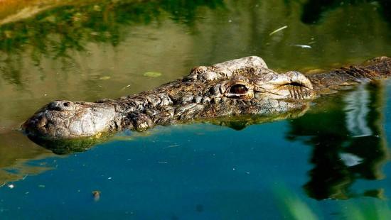 Krokodilalarm wegen Jahrhundertflut