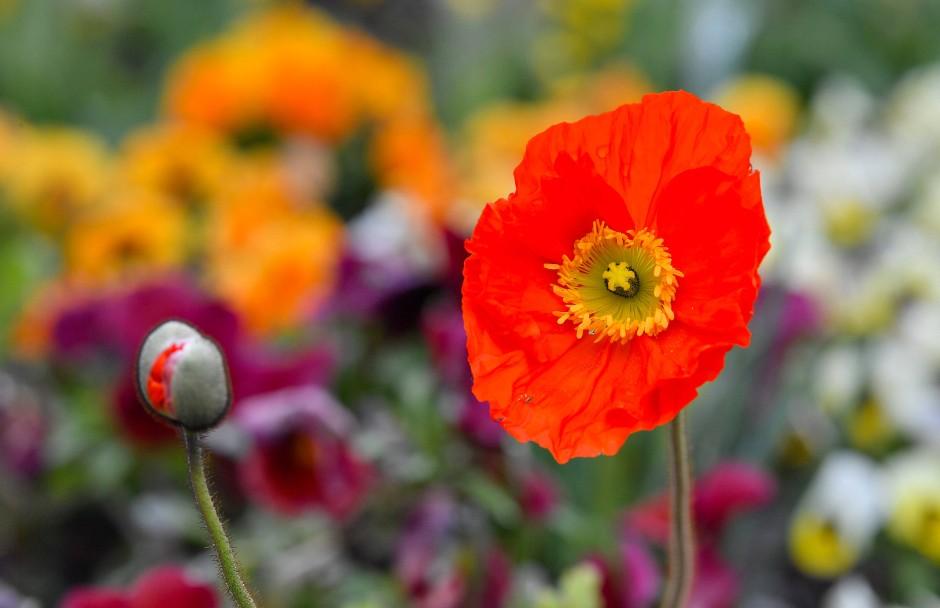 Blühende Landschaften: das Große Blumenbeet auf dem Gelände der Bundesgartenschau