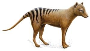 Warum starb der Tasmanische Tiger aus?