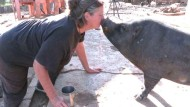 Wenn das süße Mini-Schwein plötzlich 300 Kilo wiegt