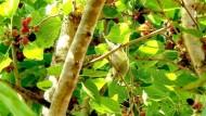 Der Kampf gegen Singvögel als zyprische Delikatesse