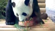 Panda Jiao Qing feiert seinen siebten Geburtstag