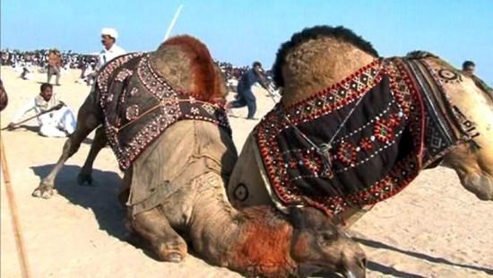 Kamelkämpfe, die verbotene Tradition