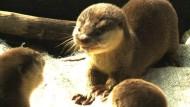 Putzige Helfer: Lass die Otter fischen