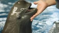 Kampf um die letzten Jangtse-Schweinswale
