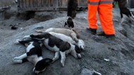 Grausame Jagd auf Straßenhunde in Kabul