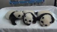 Panda-Drillinge öffnen erstmals die Augen