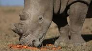 Die letzten fünf Breitmaulnashörner der Welt