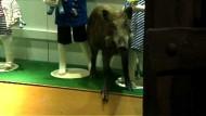 Wildschwein stürmt Einkaufszentrum