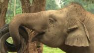 Luxuskaffee - gewonnen aus Elefantenkot