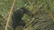 Wilde Schimpansen betrinken sich gern