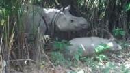 Extrem seltene Java-Nashornkälber gefilmt