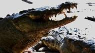 Tausende Krokodile dem Hungertod nahe