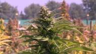 Ernte auf der größten Marihuana-Plantage Lateinamerikas