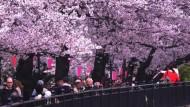 Kirschblüte lockt Japaner ins Freie