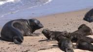 Kalifornische Tierschützer päppeln magere Seelöwen auf